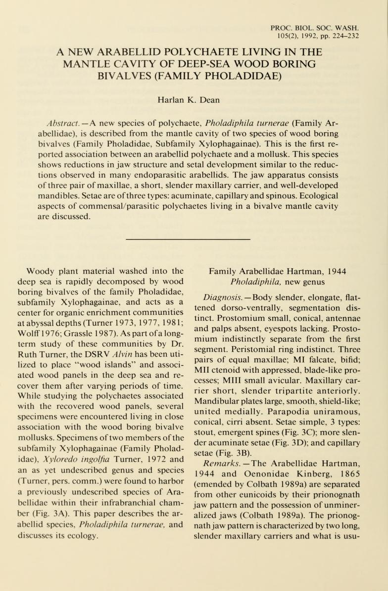 Arabellid Polychaete